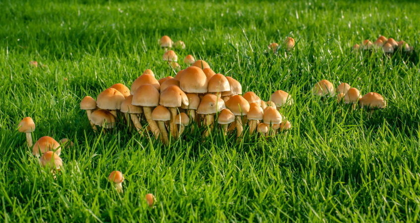 Are Mushrooms Bad For Your Lawn - How To Kill Mushrooms In Lawn